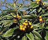 Live Loquat Fruit Tree, Japanese plum, Eriobotrya japonica STARTER PLANT
