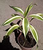 "Song of India (Dracaena reflexa pleomele), live rooted plant at least 8"" tall"