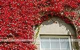 50pcs Boston Ivy seeds /Parthenocissus Tricuspidata For DIY Home & Garden Outdoor Plants Seeds Bonsai Seeds Climber Spectacular