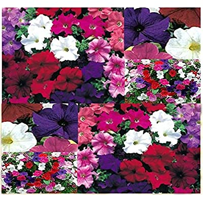 Risalana 500 or 25, 000 x Petunia Nana compacta (Dwarf Petunia Mix) - Petunia Seed Seeds - Container Plants ONLY 9-12 Inches Tall (Pkt Size - 500 Seeds) : Garden & Outdoor