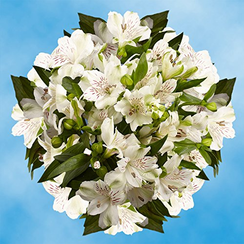 GlobalRose 240 Blooms of White Fancy Alstroemerias 60 Stems - Peruvian Lily Fresh Flowers for Delivery (Alstroemeria Flowers)