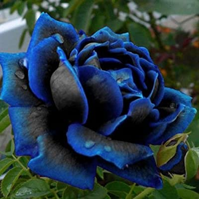 Oliote 20/50Pcs Rare Blue Blooming Midnight Rose Flower Plant Petal Garden Pot Seeds Flowers: Clothing