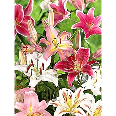 4 Bulb Plant Lily Oriental Mix : Garden & Outdoor