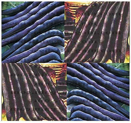 1 oz: Purple Queen Bush Bean Seeds - pods Turn Green When Cooked Excellent Flavor ~ 50