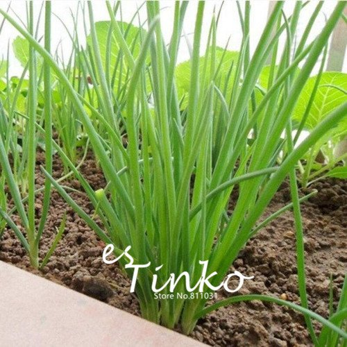 Promotion 100pcs Chinese Green Chive Seeds Green Onion Shallot Seeds Vegetable Plant DIY