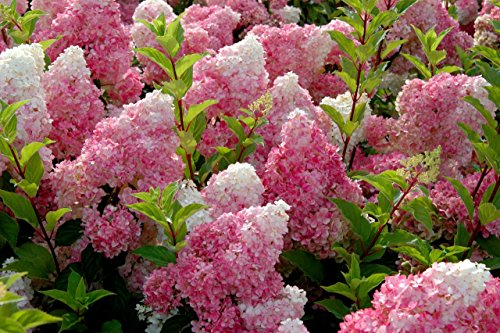 50 Vanilla Strawberry hydrangea Flower Seeds for planting in pot or ground easy to grow flower seeds as bonsai or (Blossom Display Clock)