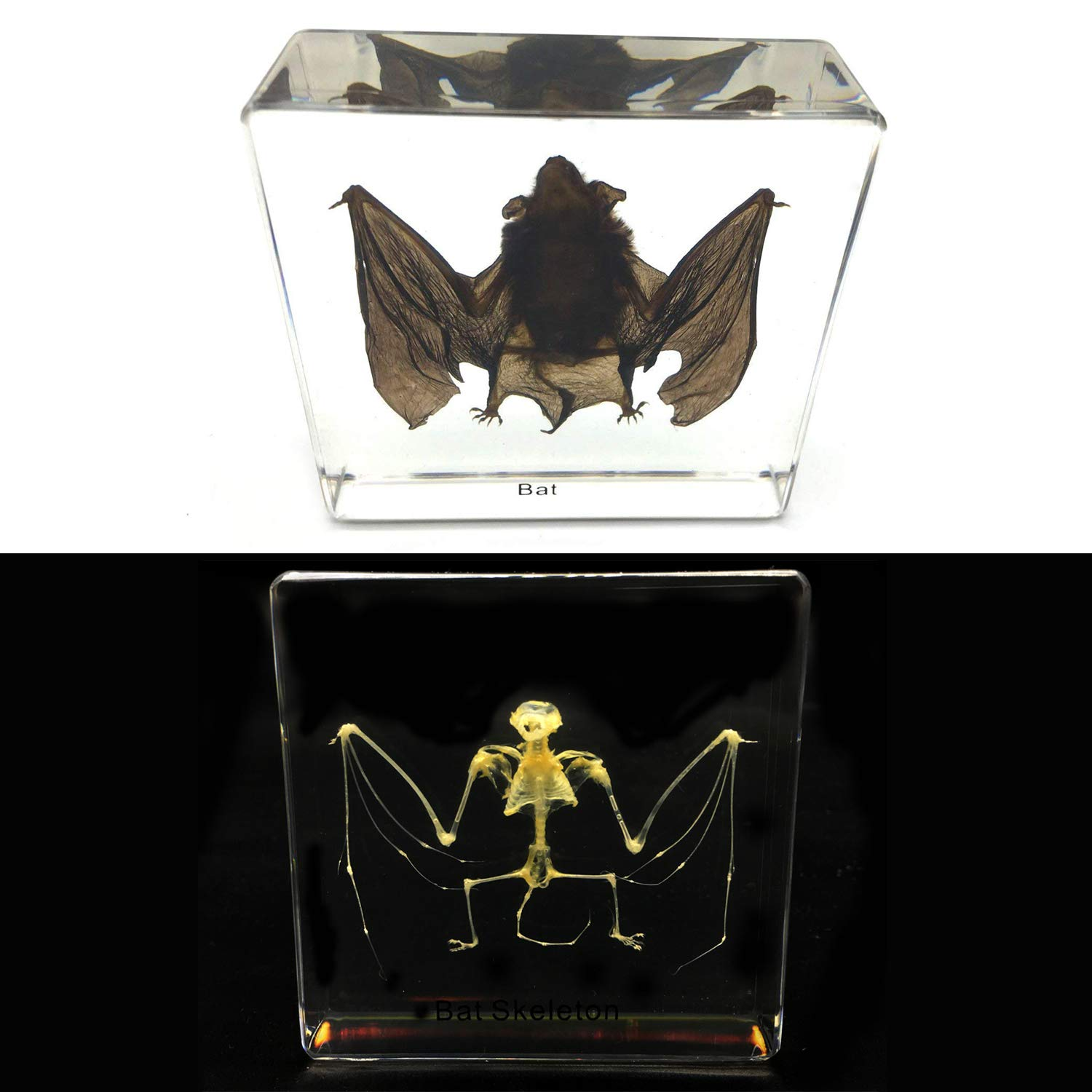 2 PCS Taxidermy Real Bat and Bat Skeleton Specimens Science Classroom Specimen for Science Education(3''x3''x1'')