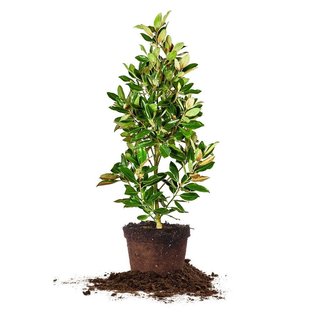 LITTLE GEM MAGNOLIA - Size: 5-6 ft, live plant, includes special blend fertilizer & planting guide