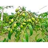 Spondias Dulcis Tropical Fruit Tree 5 Feed Height in 7 Gallon Pot #BS1