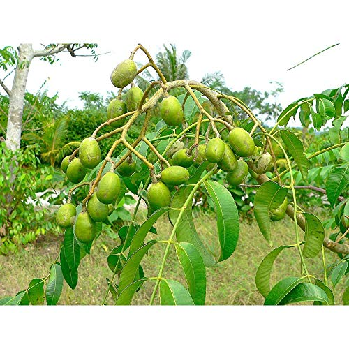 Spondias Dulcis Tropical Fruit Tree 5 Feed Height in 7 Gallon Pot #BS1 by iniloplant (Image #3)
