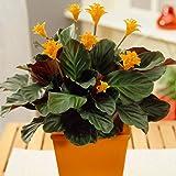 Calathea Crocata Indoor Shrub Colourful Decorative Live Houseplant Potted 14cm