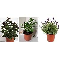 Hierbabuena (2) - Planta Antimosquitos (2) - Lavanda (2) - Pack 6 PLANTAS 13 cm ø - Planta Natural - Vipar Garden 39