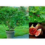 Fig tree 'Jerusalem' (Ficus carica) indoor outdoor! VERY HARDY seeds. SHIP FROM CANADA! (At your door in less than 9 days!)