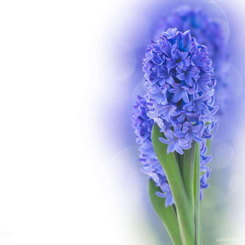 Zouvo 10/20/50/100 Particle Hyacinthus Orientalis Seeds Bonsai Flower Seeds (50)