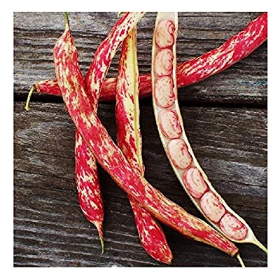 Tongue of Fire Bean Seeds - 20 Large Bean Seeds Non GMO - Marde Ross & Company : Garden & Outdoor