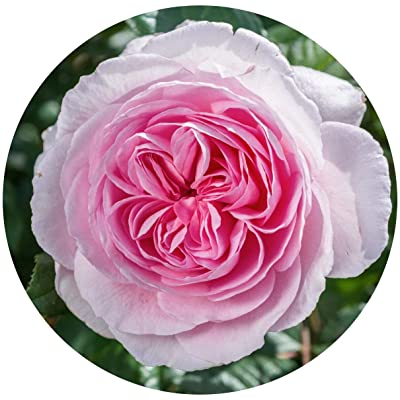 David Austin English Roses - The Ancient Mariner : Garden & Outdoor