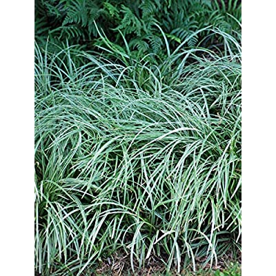 Perennial Farm Marketplace Carex m. 'Silver Sceptre' (Variegated Sedge) Ornamental Grass, Size-#1 Container, Green Foliage with White Edges : Garden & Outdoor