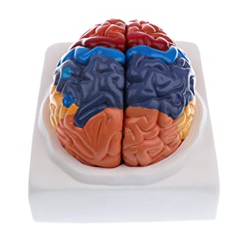 Homyl 1:1 Colored Removable 2 Parts Human Brain Brainstem