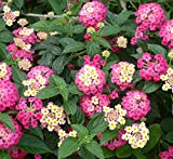 30+ Beautiful Colorful Lantana Camara Flower Seeds