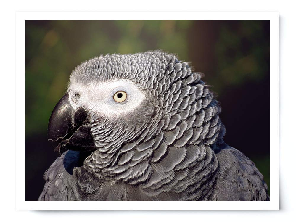 African Grey Parrot - Wildlife Photograph Animal Picture Home Decor Wall Nature Print - Variety of Sizes Available