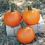 Pumpkin Cannon Ball - Farmore Treated Seeds - Powdery Mildew Tolerant - 10,000 Seeds