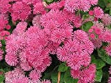 Floss Flower Seeds,ageratum houstonianum,Cloud Nine Pink-PEL,Early Variety.(400 Seeds)