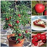 10 Seeds Dwarf Apple Tree Red Devil Indoor/Outdoor