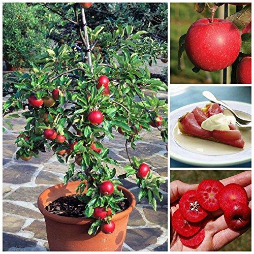 10-Seeds-Dwarf-Apple-Tree-Red-Devil-IndoorOutdoor