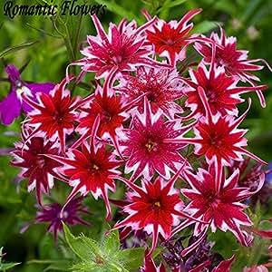 ¡Venta! 100 piezas 14 tipos Bonsai Phlox Semillas Semillas 100% de China genuino floreciente orgánico del jardín de flores de la planta del reloj