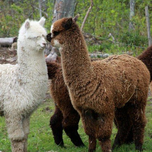 Cultivados alpaca de lana de colchón almohadilla - 100% algodón orgánico Cubierta: Amazon.es: Hogar