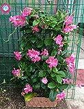 100pcs/bag Climbing Mandevilla Sanderi seeds,Dipladenia sanderi seeds,Bonsai Flower Plant for decoration home&courtyard wall pot 3