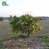 Hot Selling! 30 seeds Hardy Bitter Orange, Poncirus trifoliata, (Showy, Fragrant, Edible) - Arcis New