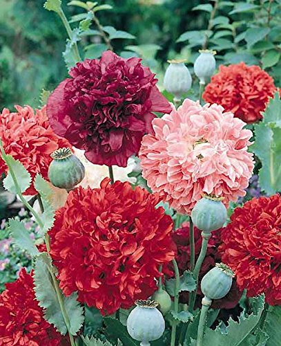 Seedsnpots Poppy peony Flowered Mix pack of 40 seeds (B07RSXZD89) Amazon Price History, Amazon Price Tracker
