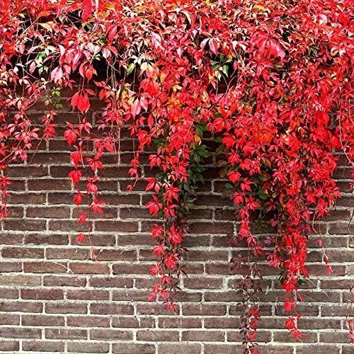 MURIEO jardín- 50pcs Parthenocissus plantas trepadoras, hiedra mameluco plantas ornamentales semillas jardín perenne resistente, casa, pared deco anti-radiación semillas: Amazon.es: Jardín