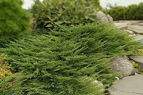 Creeping Juniper - Prince of Wales - 30 Live Plants in 4'' Containers - Evergreen Groundcover by Florida Foliage (Image #4)