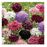David's Garden Seeds Flower Scabiosa Pincushion Formula Mix OU4521 (Multi) 50 Non-GMO, Open Pollinated Seeds