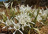 5 Sea Daffodil Seed,Sand Lily,Northern Marsh Orchid -Pancratium maritimum,Fragrant