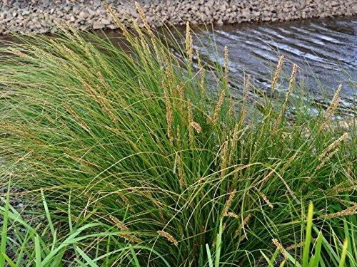 TALL SEDGE (Carex Appressa) WETLAND GRASS X 50 (Carex Grass)