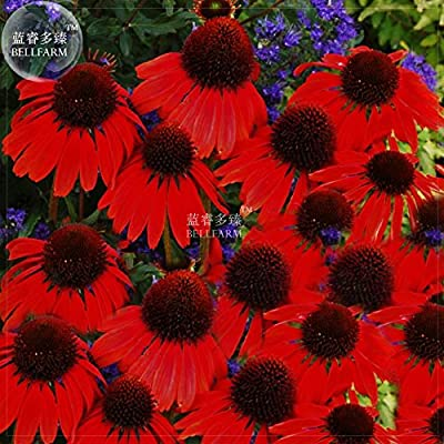New Echinacea 'Firebird' Fire Red Bonsai Coneflowers Hybrid Bonsai Flowers, 200+ pcs 'Seeds'