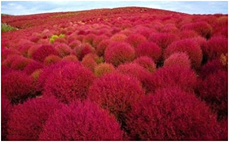 Amazon Com Kochia Scoparia Red Burning Bush Fireweed 100