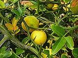 100 Graines Poncirus trifoliata , Hardy Orange,Japanese Bitter Orange tree seeds