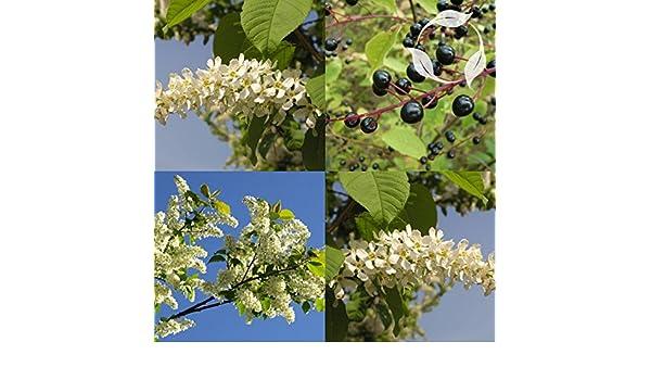 Amazon com : BIRD CHERRY Prunus Padus - 5 SEEDS : Garden & Outdoor