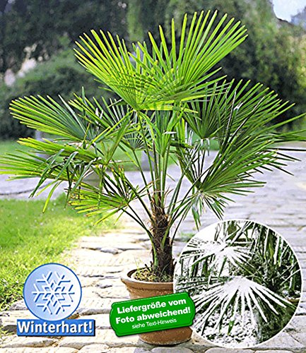BALDUR-Garten Winterharte Kübel-Palmen, 1 Pflanze, Trachycarpus fortunei