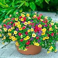 Bio Garden - Rare 100pcs Calibrachoa Hybrid 'Holy Moly!' Seeds Easy to Grow, Exotic Flower Seeds Hardy Perennial Garden