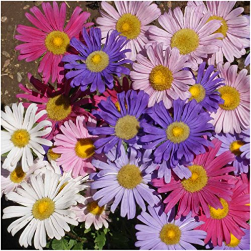 Package of 1,000 Seeds, China Aster Single Mixture (Callistephus chinensis) Non-GMO Seeds By Seed Needs