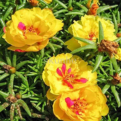 FARMERLY Paquete de semillas bonsáis sol, gran verdolaga cuatro ...