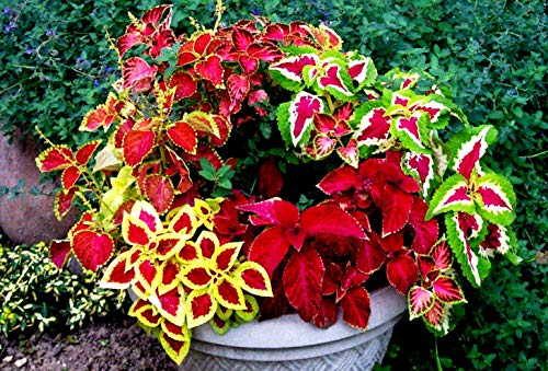 Coleus blumei Seeds Painted Nettle Flame up to 150 Seeds