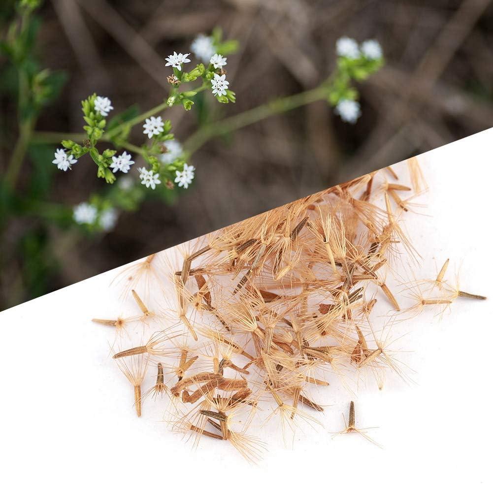 50 piezas de siembra de jard/ín Cultivo de flores Stevia Rebaudiana Semillas Semillas de Samfox