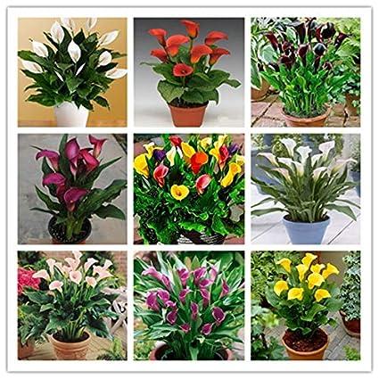 Amazon.com: 100 pcs Calla Lily Seeds, Rare Room Flowers ... on