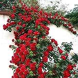 MYEDO 100PCS Climbing Rose Seeds Perennial Bonsai Eden Climber Rose Bush Reblooming Pink Rose White Purple Climbing Rose Potted